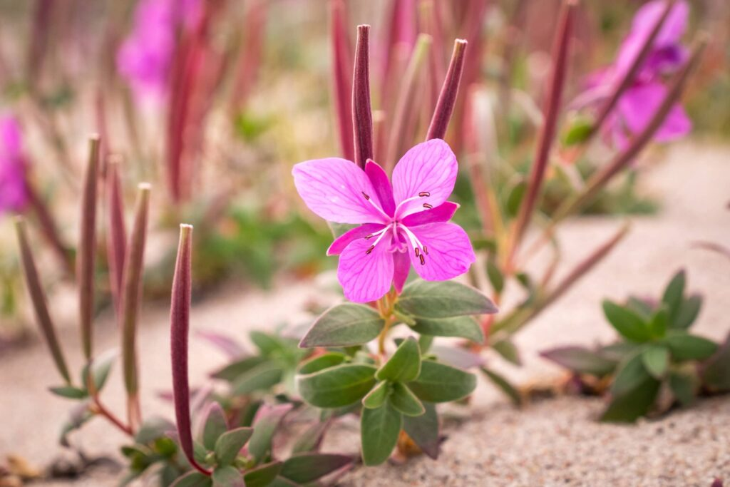Niviarsiaq - Greenland National Flower - Guide to Greenland