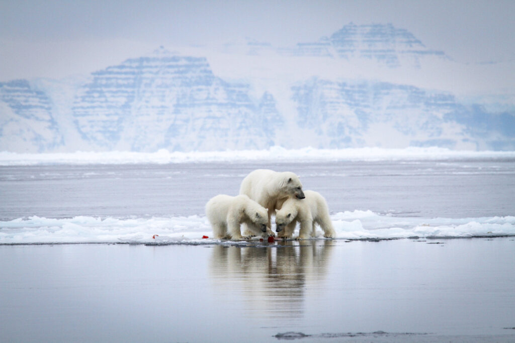Martin Munck - Visit Greenland. Polar bear mother with 2 curious cubs in North-east Greenland