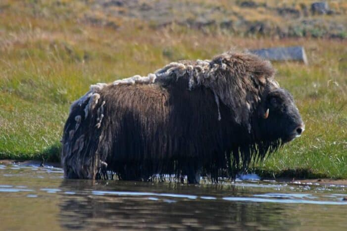 Hiking, Kayaking & Camping | Musk Ox Lake | Kangerlussuaq