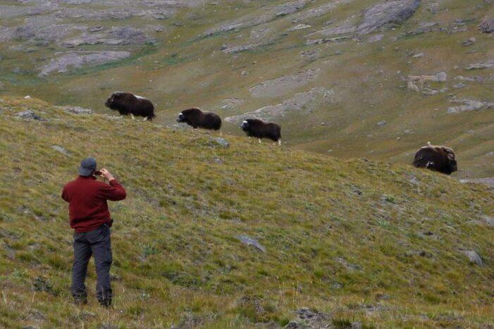Musk Ox Hike | Kangerlussuaq | West Greenland
