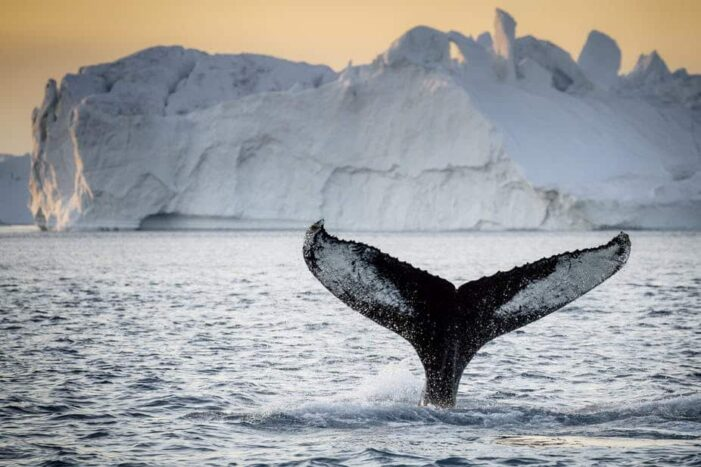 Private Whale Safari | Ilulissat | Disko Bay