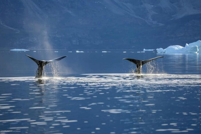 Private Whale Safari | Uummannaq | North Greenland