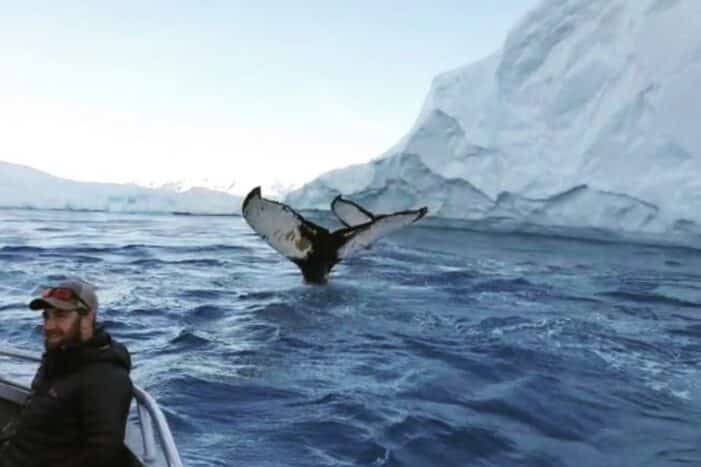 Searching for Humpback Whales among Icebergs | Ilulissat