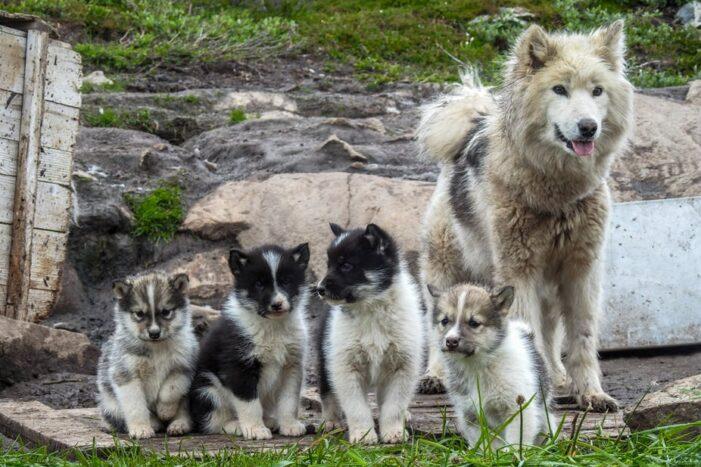 Mød slædehundene | Ilulissat | Diskobugten