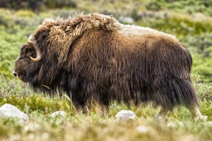 Tundra og Dyreliv | Kangerlussuaq | Vest Grønland