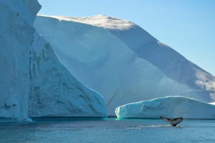 Whale Safari | Ilulissat | Disko Bay