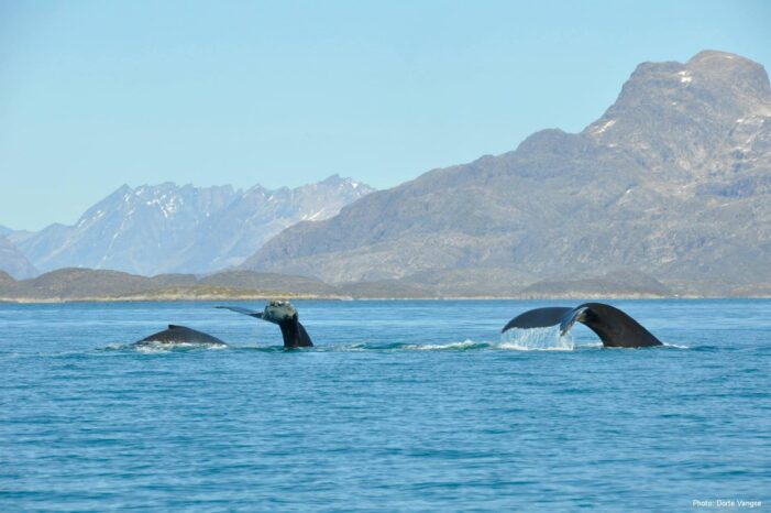 Whale Safari | Maniitsoq | West Greenland