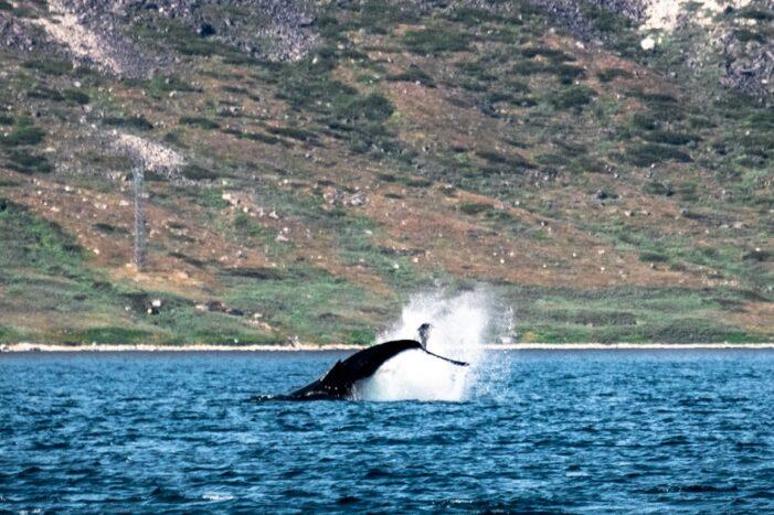 Whale Safari | Nanortalik | South Greenland