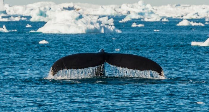 Whale Watching and Iceberg Safari | Tasiilaq | East Greenland