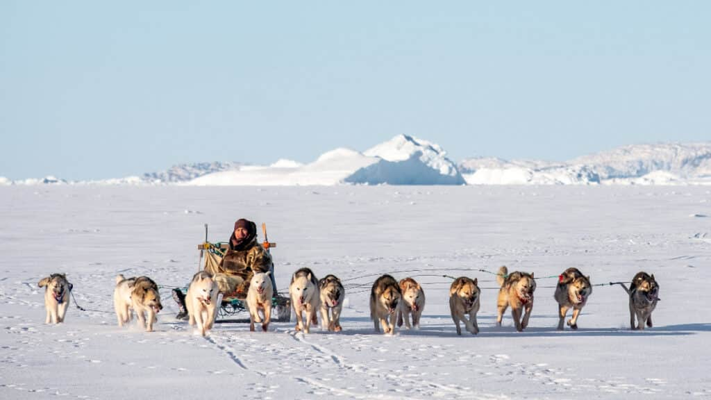 Musher guiding his sled dogs on the ice in Greenland