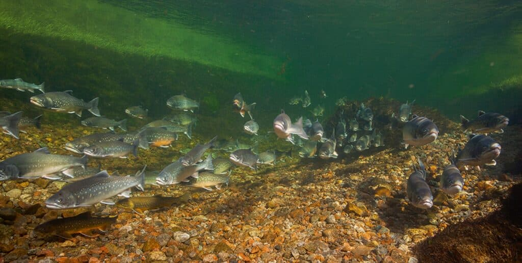 Arctic char fish swimming in the water in Greenland