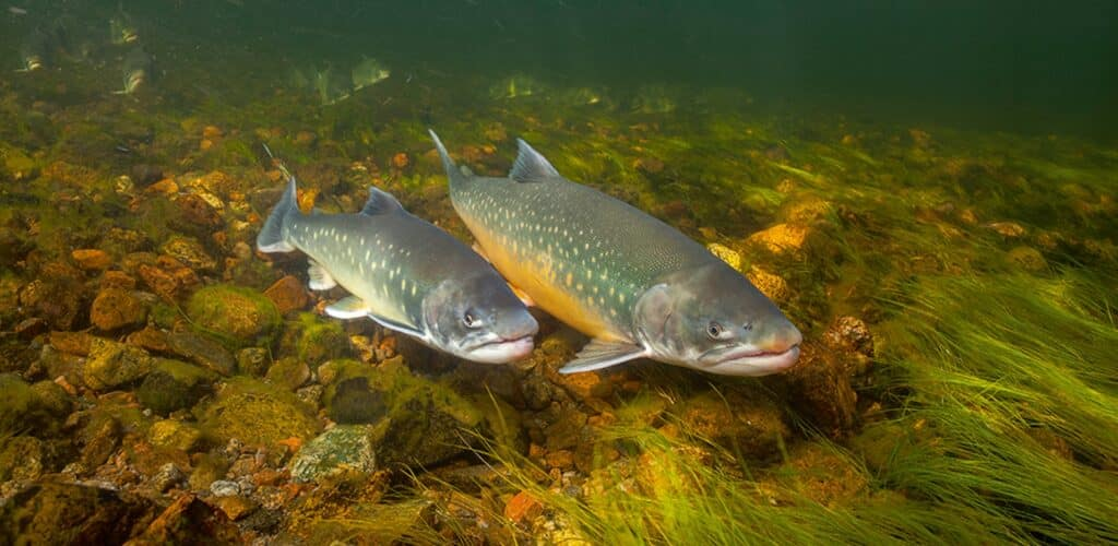Two arctic char fish