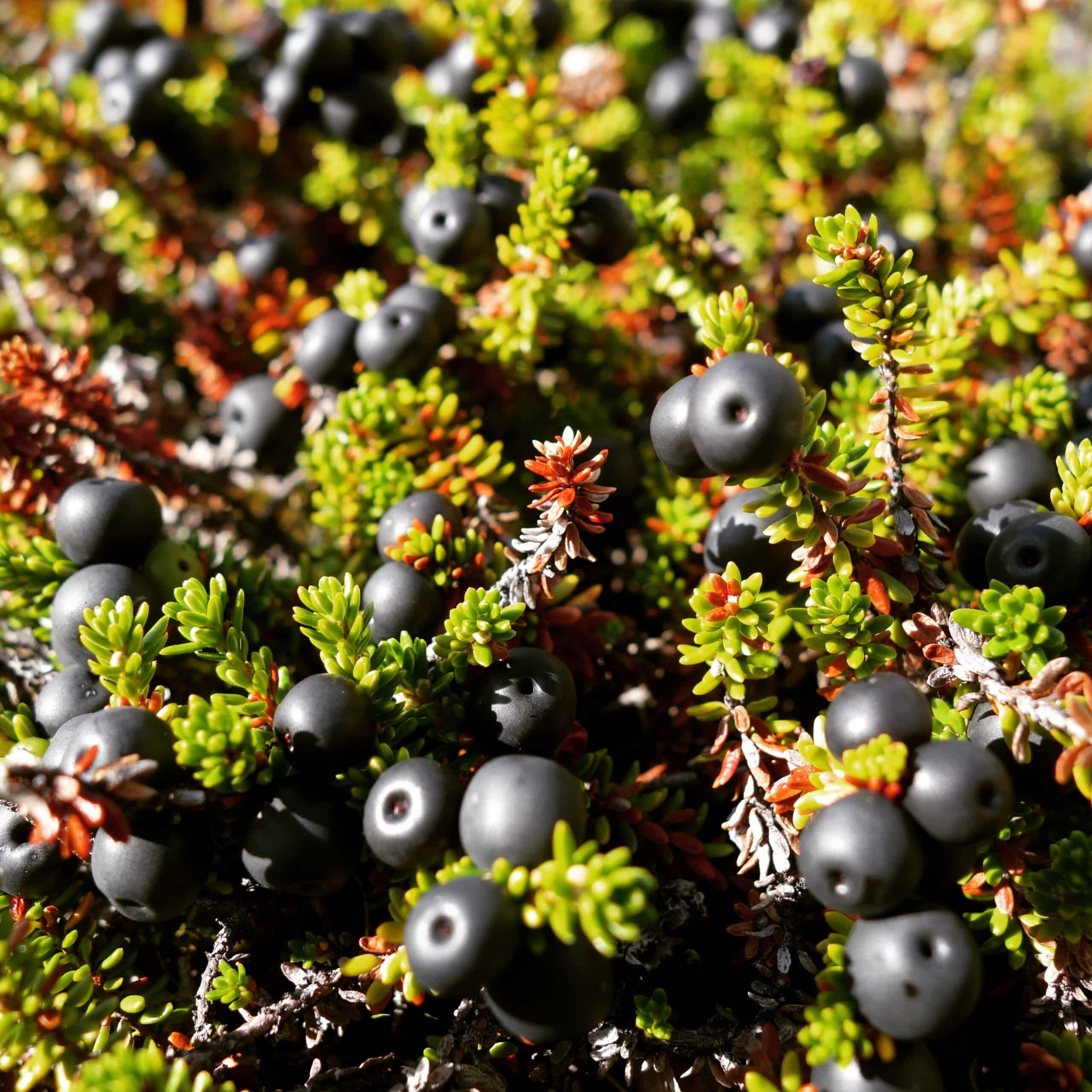 Berry picking in Nuuk, Greenland