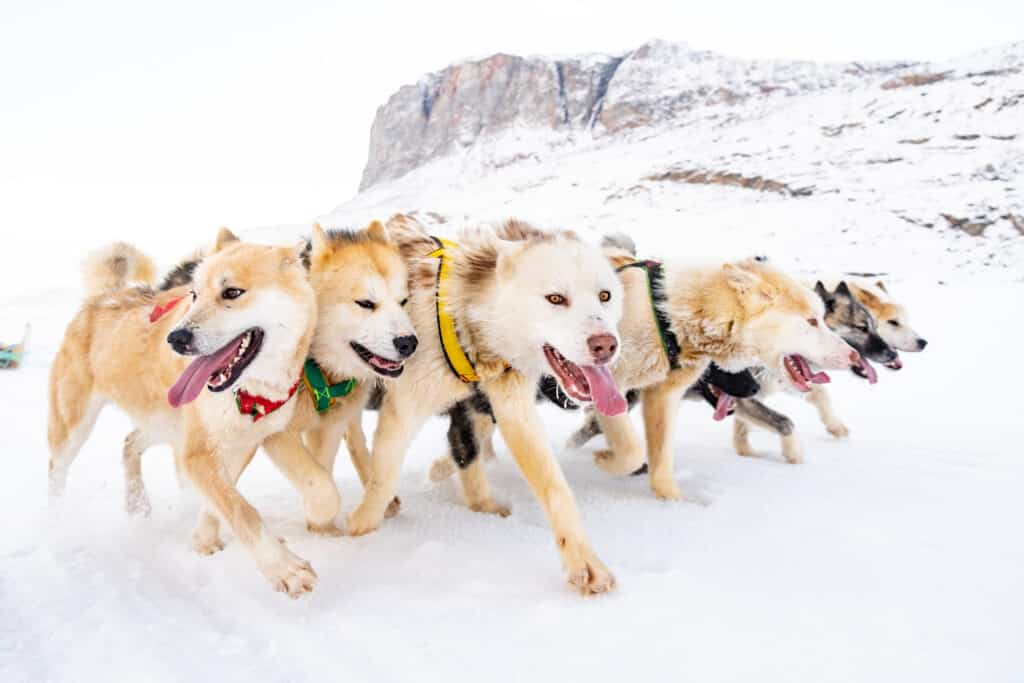 Close-up of a pack of sled dogs running in Greenland