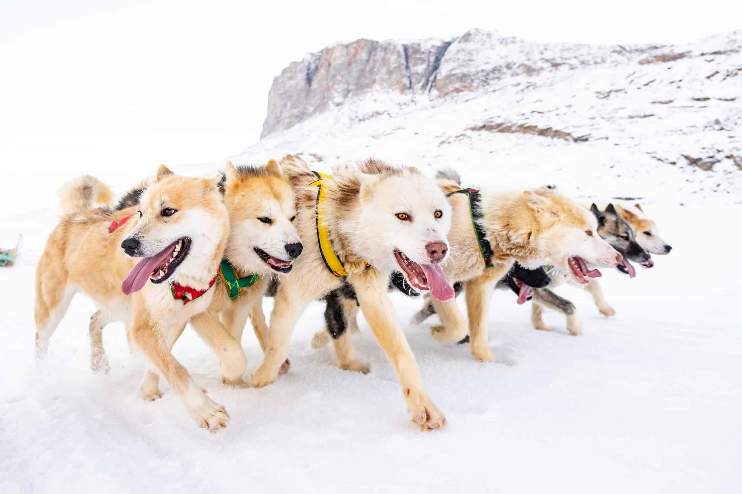 Hundeslædeture