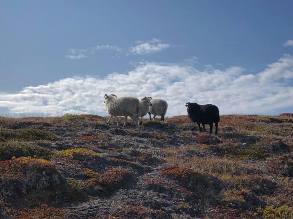 Sheep near Kapisillit