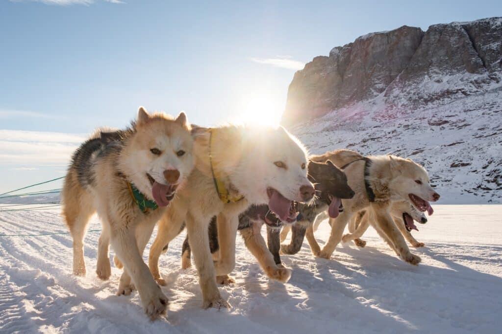 Sled dogs running on the sea ice in Uummannaq