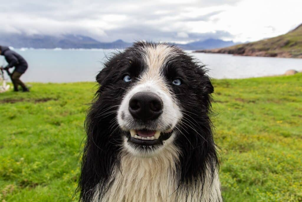 Cute dog with blue eyes smiling for the camera