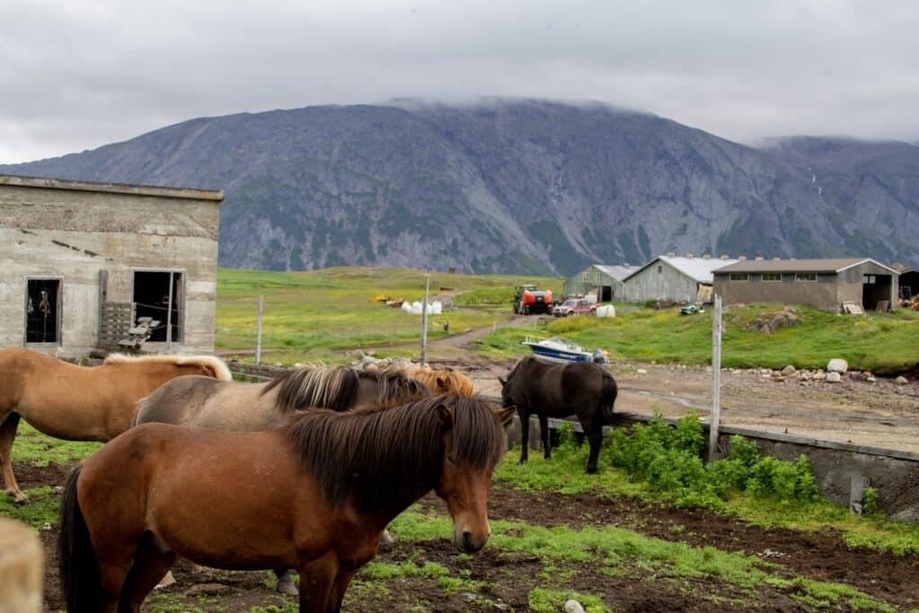Horses in Inneruulalik
