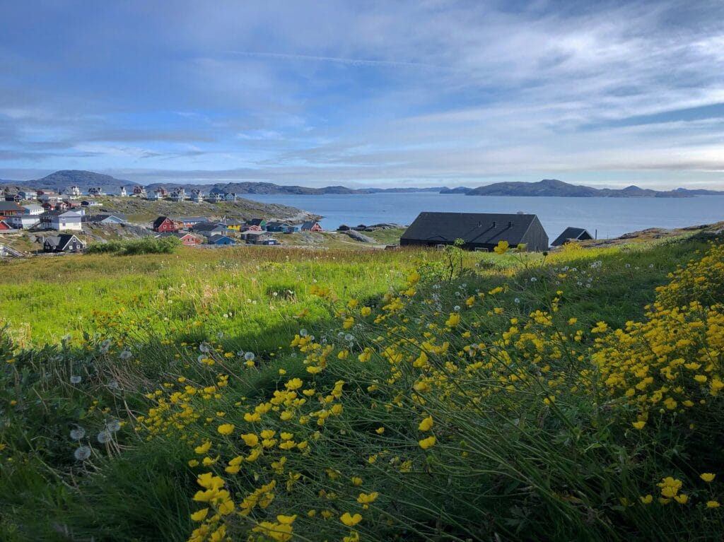 Yellow flowers in Nuuk