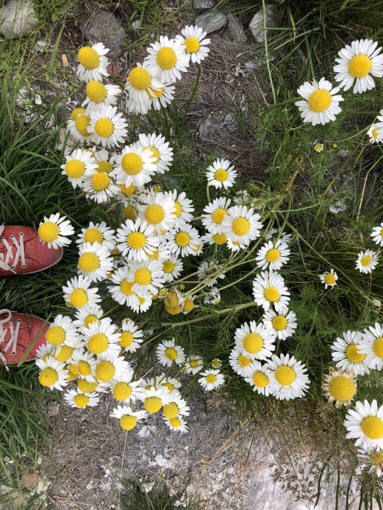 White and yellow flowers in Nuuk