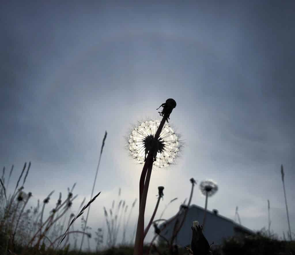 Dandelion lit up by the sun