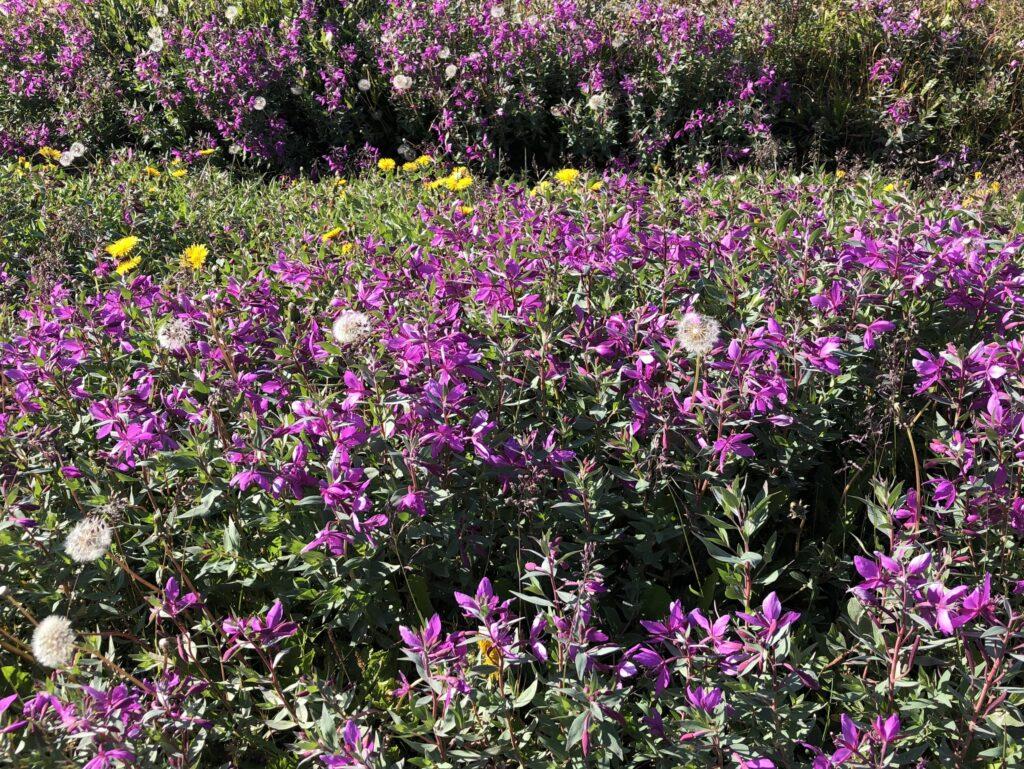 Purple flowers in Nuuk