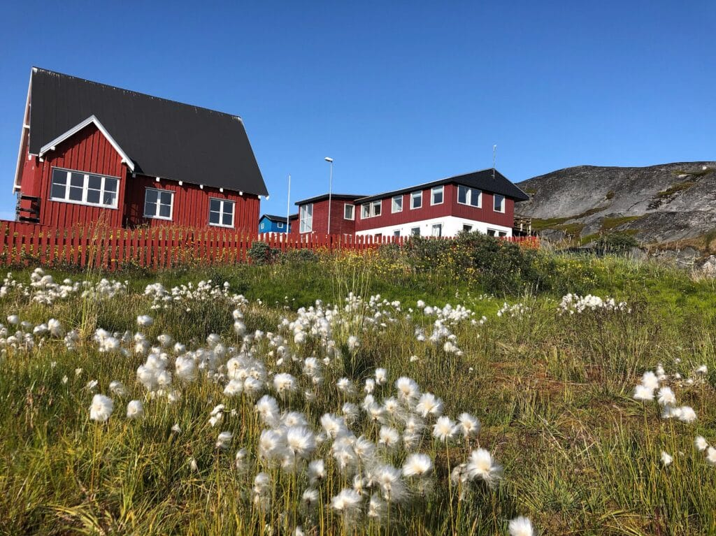 White flowers and red houses in Nuuk