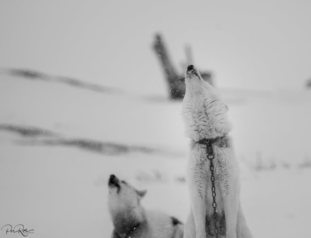 Greenlandic sled dogs howling
