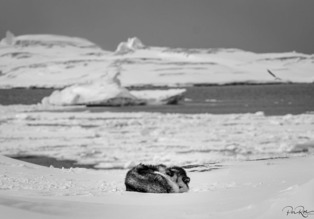 Puppy taking a rest on the sea ice