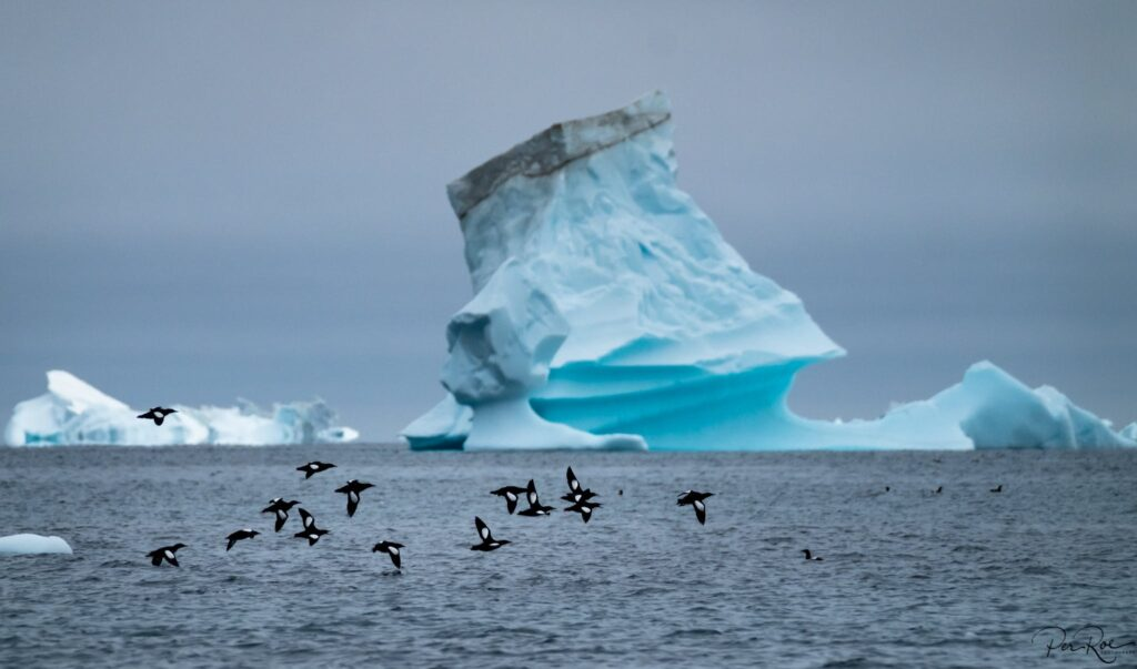 Birds flying over the water and a large iceberg in the background