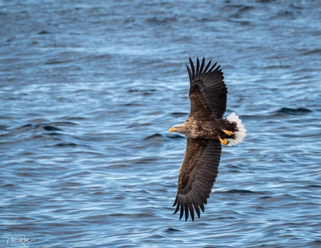 Eagle flying over the water