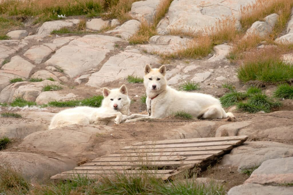 Sled dogs taking a break before getting back to work