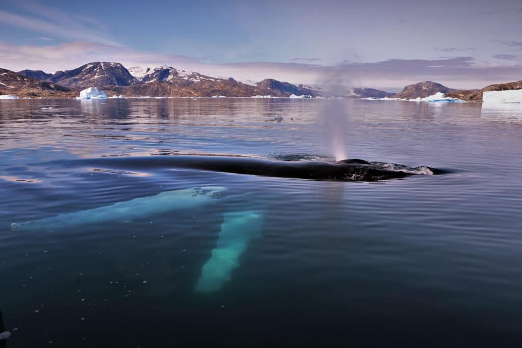 Half submerged whale on a Whale watching tour out of Tasiilaq - summer - Guide to Greenland