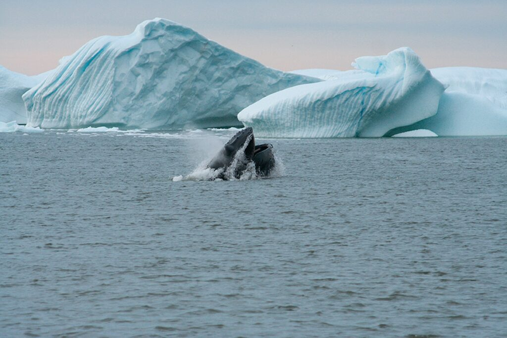 A jumping humpback whale