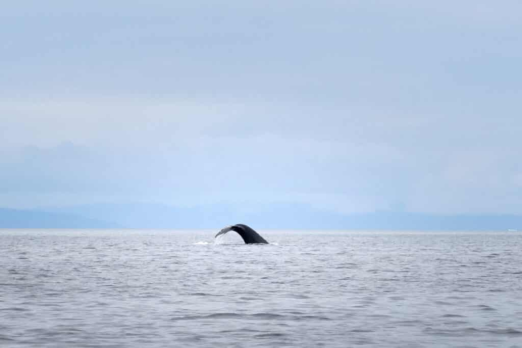 Humpback whale tale on a whale watching tour out of Aasiaat