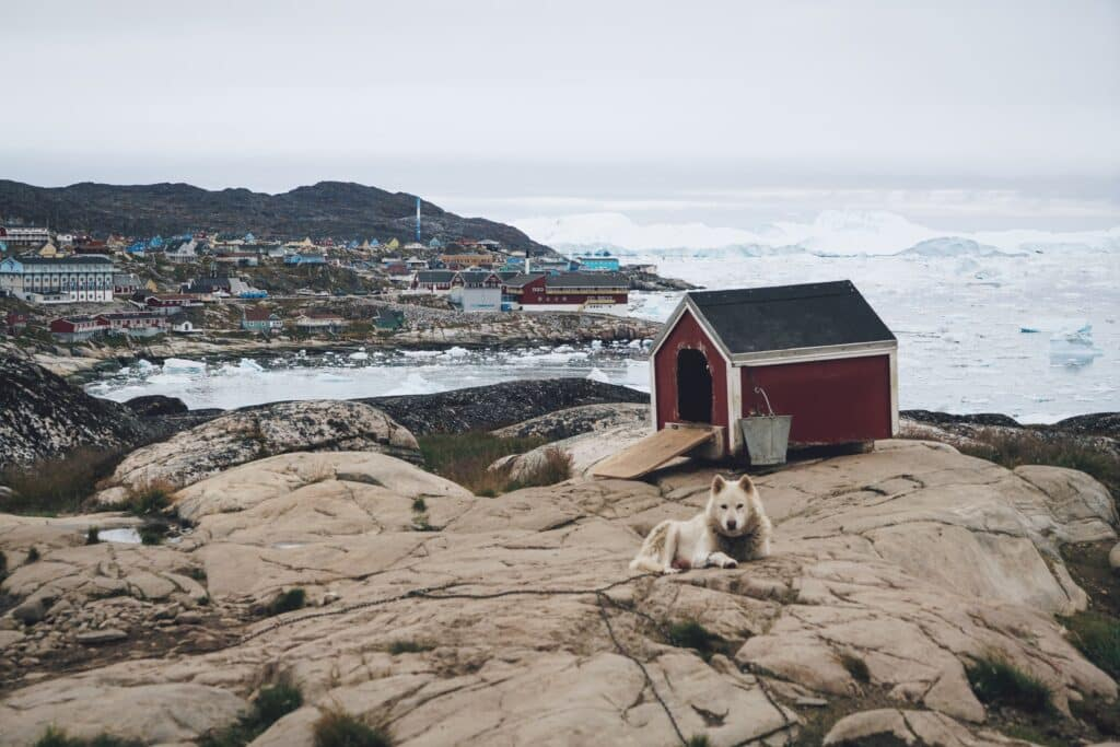 A sled dog guarding its red wooden house