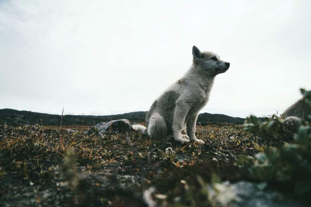 A young sled dog looking cute
