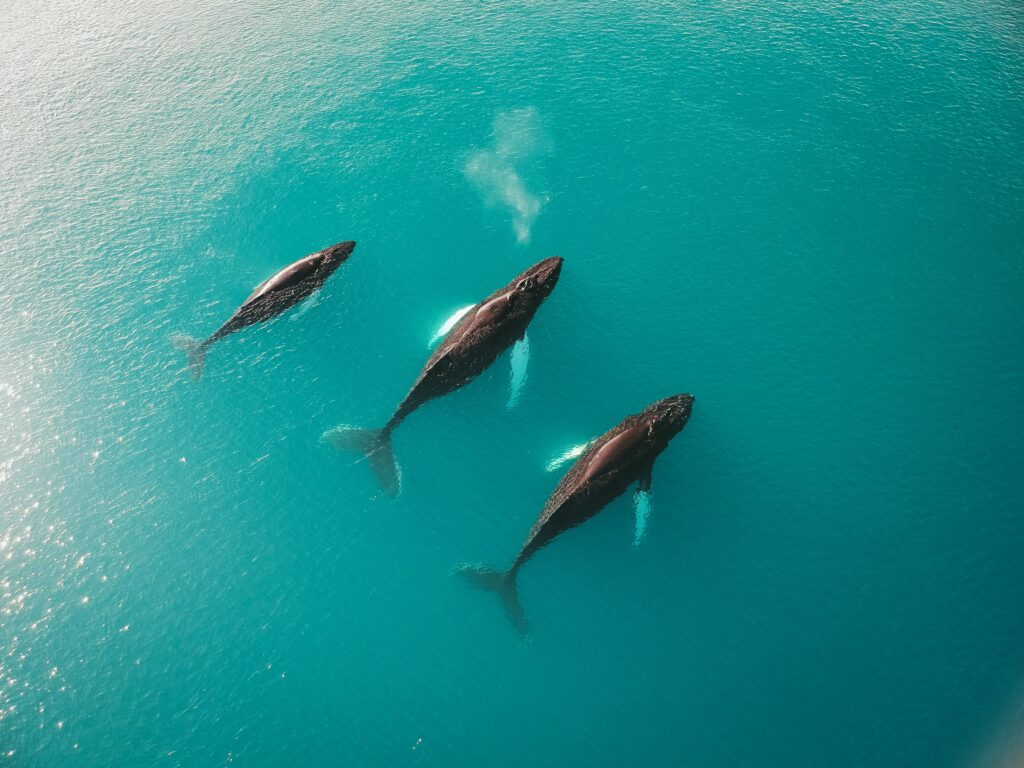 Three humpback whales swimming next to each other in the blue water