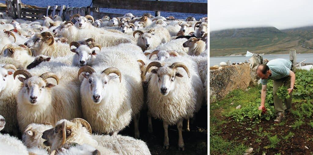 Man doing garden work and a herd of sheep