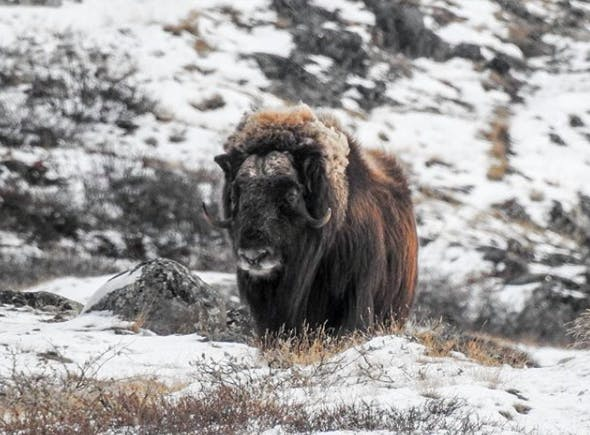 A lonely musk ox in the wild