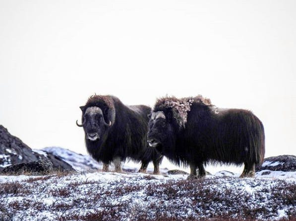Two musk ox in Greenland