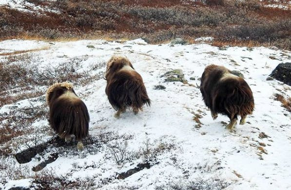 Three musk ox running
