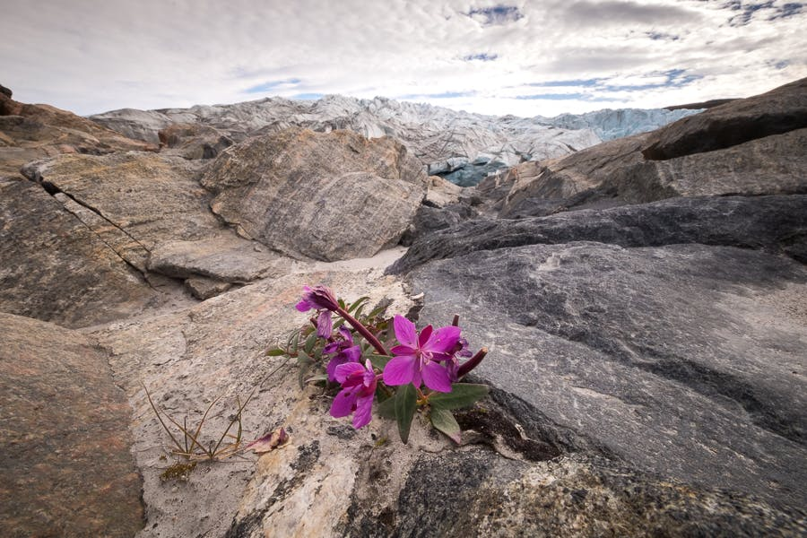 Niviarsiaq near Russell Glacier - Greenland National Flower - Guide to Greenland