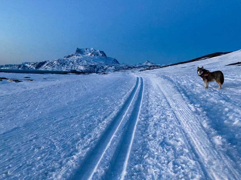 Dog at cross-country skiing trail