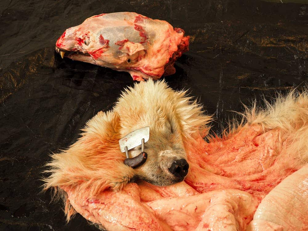 Close up of the skin of a dead polar bear