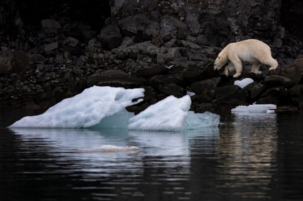 Polar bear walking at the food of the mountain