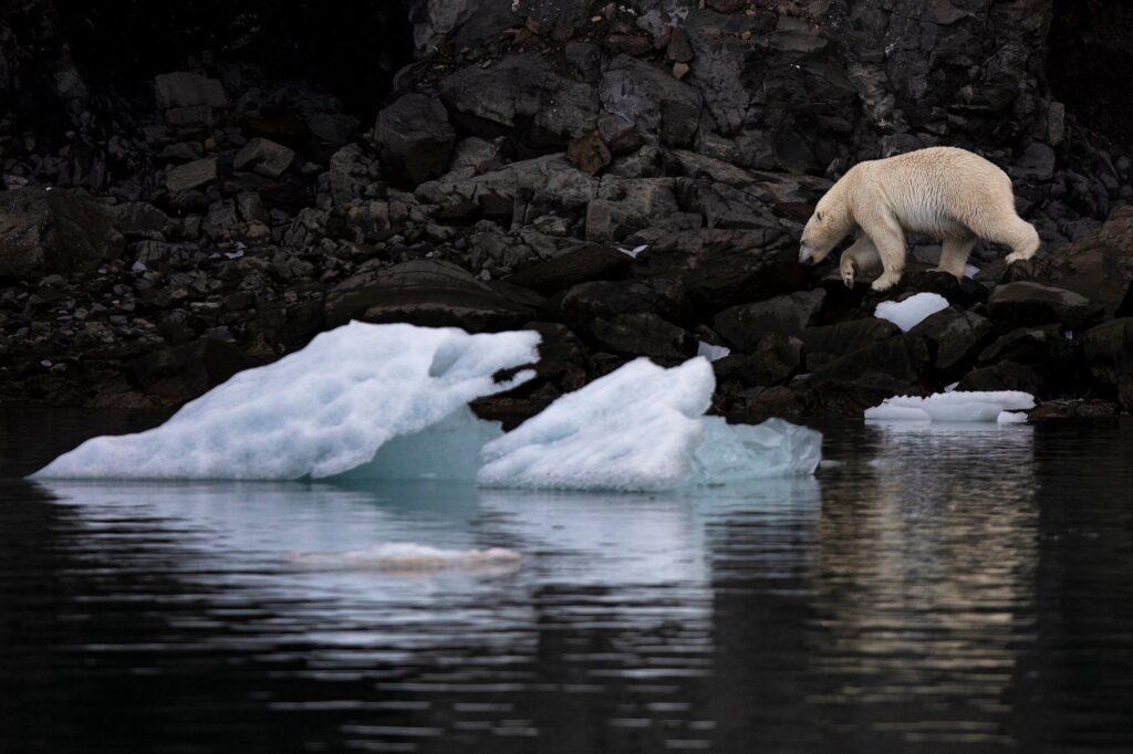 Polar bear walking at the food of the mountain