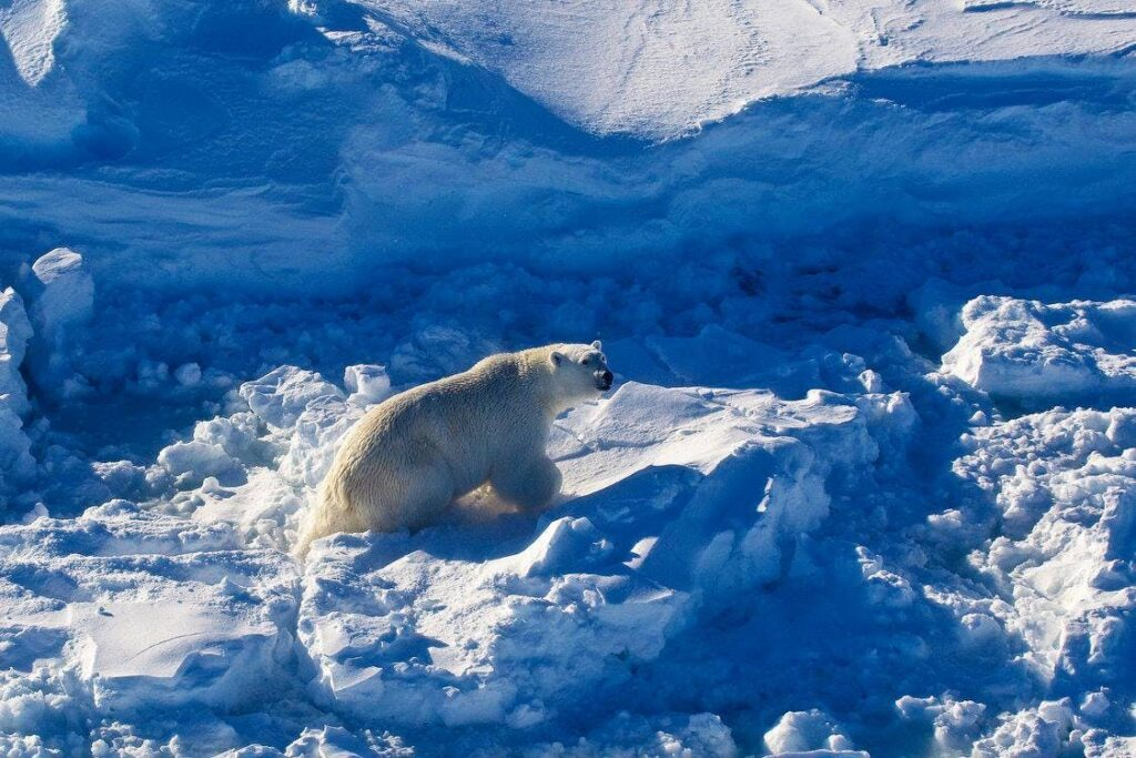 Polar bear having fun in the snow