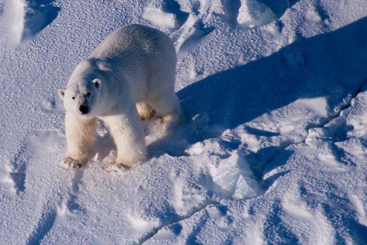 Polar bear looking towards the photographer
